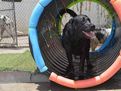 image of labrador playing at daycare